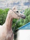 Portret van mooi Arabisch merrieveulen bij bergachtergrond royalty-vrije stock foto