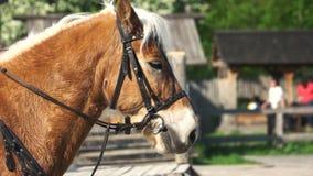 Portret van mooi paard openlucht stock video