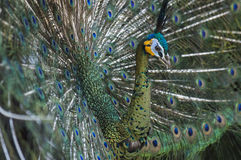 Portret van mooie pauw met uit veren Stock Foto