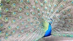 Portret van mooie pauw met uit veren Sluit omhoog van pauw die zijn mooie veren toont stock videobeelden