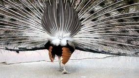 Portret van mooie pauw met uit veren Sluit omhoog van pauw die zijn mooie veren toont stock video