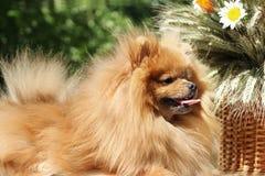 Portret van mooie pomeranian hond met bloemen in de zomer op aard groene achtergrond Royalty-vrije Stock Afbeeldingen
