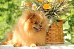 Portret van mooie pomeranian hond met bloemen in de zomer op aard groene achtergrond Royalty-vrije Stock Foto's