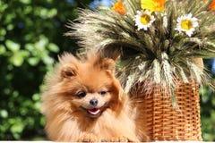 Portret van mooie pomeranian hond met bloemen in de zomer op aard groene achtergrond Royalty-vrije Stock Foto