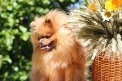 Portret van mooie pomeranian hond met bloemen in de zomer op aard groene achtergrond Stock Foto