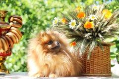 Portret van mooie pomeranian hond met bloemen in de zomer op aard groene achtergrond Royalty-vrije Stock Fotografie