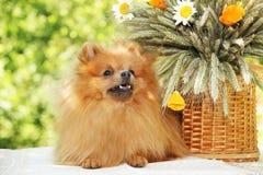 Portret van mooie pomeranian hond met bloemen in de zomer op aard groene achtergrond Stock Fotografie