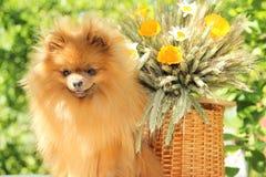 Portret van mooie pomeranian hond met bloemen in de zomer op aard groene achtergrond Royalty-vrije Stock Afbeelding