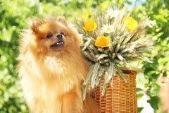 Portret van mooie pomeranian hond met bloemen in de zomer op aard groene achtergrond Stock Afbeeldingen