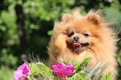 Portret van mooie pomeranian hond met bloemen in de zomer op aard groene achtergrond Stock Afbeelding