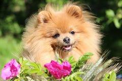 Portret van mooie pomeranian hond met roze bloemen in de zomer op aard groene achtergrond Royalty-vrije Stock Afbeeldingen