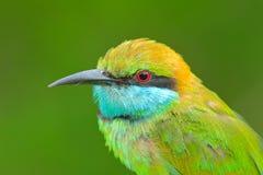 Portret van mooie vogel van Sri Lanka Weinig Groene bij-Eter, Merops-orientalis, exotische groene en gele zeldzame vogel van Sri  royalty-vrije stock fotografie