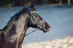 Portret van Mooie zwarte hengst in motie Stock Afbeeldingen