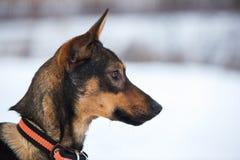 Portret van mooie zwarte hond, opzij kijkend die, in een weide zitten Royalty-vrije Stock Afbeeldingen