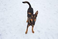 Portret van mooie zwarte hond, opzij kijkend die, in een weide zitten Stock Afbeeldingen