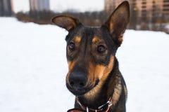 Portret van mooie zwarte hond, opzij kijkend die, in een weide zitten Stock Foto's