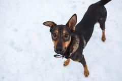 Portret van mooie zwarte hond, opzij kijkend die, in een weide zitten Royalty-vrije Stock Foto