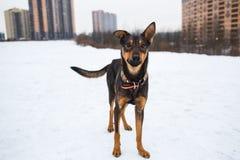 Portret van mooie zwarte hond, opzij kijkend die, in een weide zitten Royalty-vrije Stock Foto's