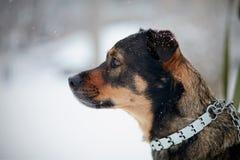 Portret van niet rashond Stock Foto's