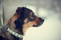 Portret van niet rashond Stock Afbeelding
