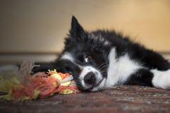 Portret van ontspannen whit van border collie puppy zijn stuk speelgoed Stock Fotografie