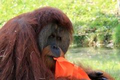 Portret van orangoetan met zak Stock Foto's