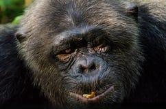 Portret van oude chimpansee met verwond oog bij Afi-de Boerderij van de Bergenboor, Nigeria Stock Foto's