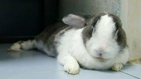 Portret van oude konijnrust rek het been4k lengte stock footage