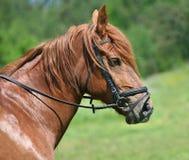Portret van paard Stock Afbeelding