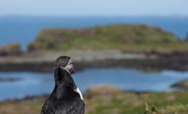 Portret van papegaaiduiker die uit aan overzees in papegaaiduikerkolonie kijken in Hebrides stock foto's