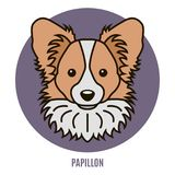 Portret van Papillon Stock Foto's