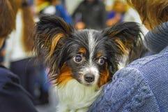 Portret van Papillon-hond op de handen van meisje stock foto