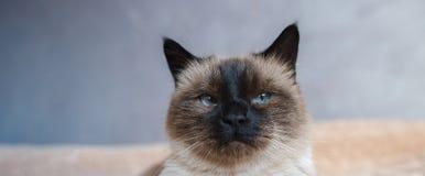 Portret van peinzende siamese huiskat met blauwe ogen royalty-vrije stock afbeelding
