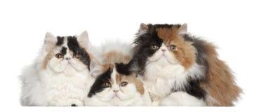 Portret van Perzische kat, 5 maanden oud, het zitten Royalty-vrije Stock Afbeeldingen
