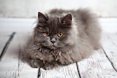 Portret van Perzische kat Royalty-vrije Stock Afbeelding