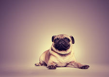 Portret van pug stock foto