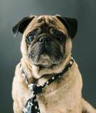 Portret van pug in een band Stock Afbeelding