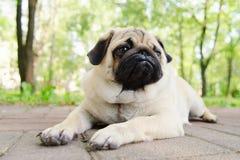 Portret van pug-hond Stock Afbeeldingen