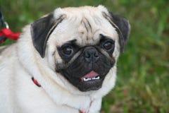 Portret van pug hond Stock Foto's