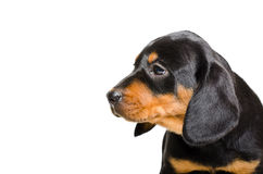 Portret van puppy Slowaakse Hund Stock Foto