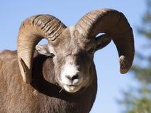 Portret van rams bighorn schapen van voorzijde met blauwe hemel backgroun Stock Fotografie