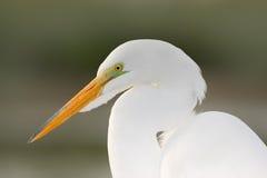 Portret van reiger Detailportret van watervogel Witte reiger, Grote Aigrette die, alba Egretta, zich in het water in maart bevind Stock Fotografie
