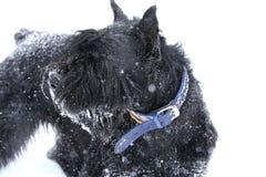 Portret van reuze schnauzer, verblijf in sneeuw stock fotografie