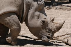 Portret van Rinoceros in onvruchtbare Habitat stock afbeelding