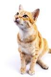 Portret van rode kat die omhoog eruit zien Stock Fotografie