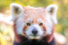 Portret van rode panda Stock Foto's