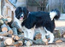 Portret van Roemeense herdershond stock foto