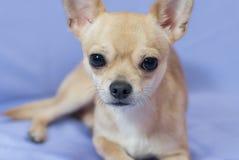 Portret van romig nieuwsgierig Chihuahua-puppy tegen blauwe achtergrond royalty-vrije stock foto