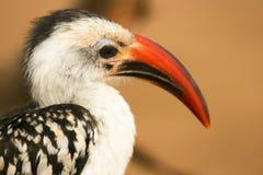 Portret van rood-Gefactureerde Hornbill, Samburu, Kenia Stock Afbeelding