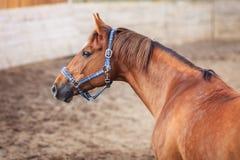 Portret van rood paard in de arena Stock Foto's
